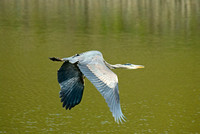 heron_flight_3